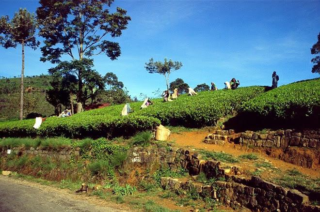 kebun teh nuwara elia srilanka 1997