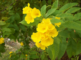 Gardentropics cheerful flower the yellow bells techoma stans is a flower that brings cheer to the jaded soul its golden yellow bell shaped flowers which bloom throughout the year mightylinksfo