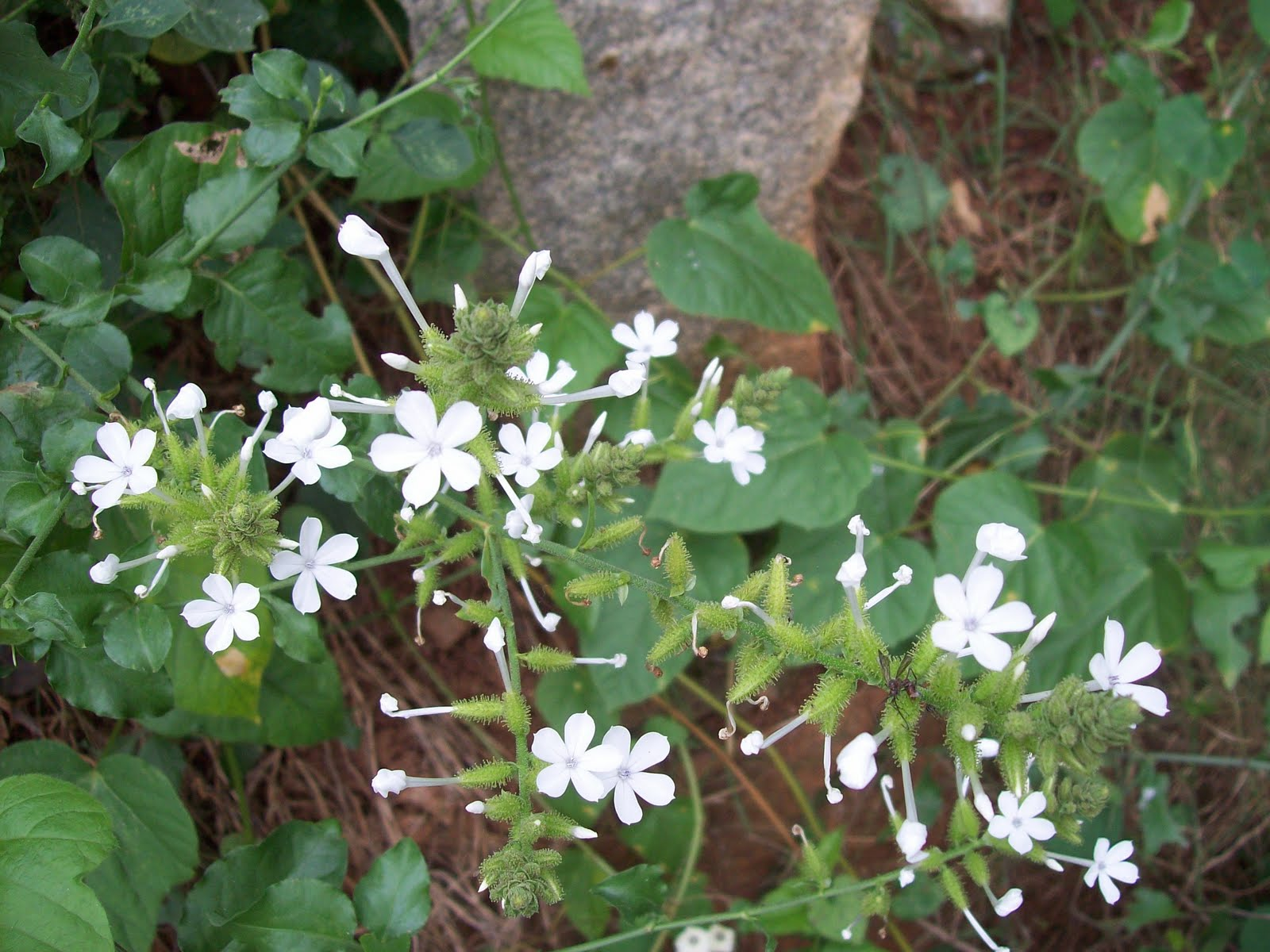 Gardentropics november 2010 this is the white plumbago called chitrak locally it is a wild flower native to peninsular india and sri lanka its botanical name is plumbago zeylanica mightylinksfo