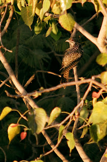 Female Indian Cuckoo