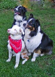 3 Aussie Dogs