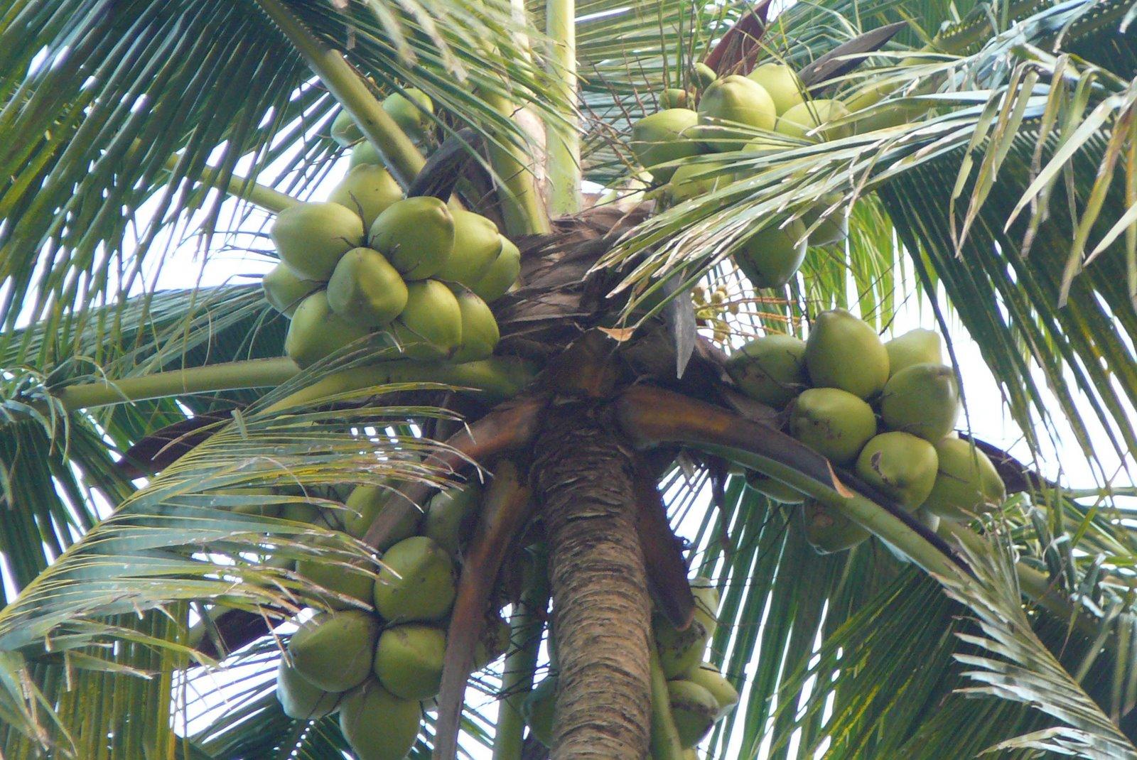 Coconut tree essay