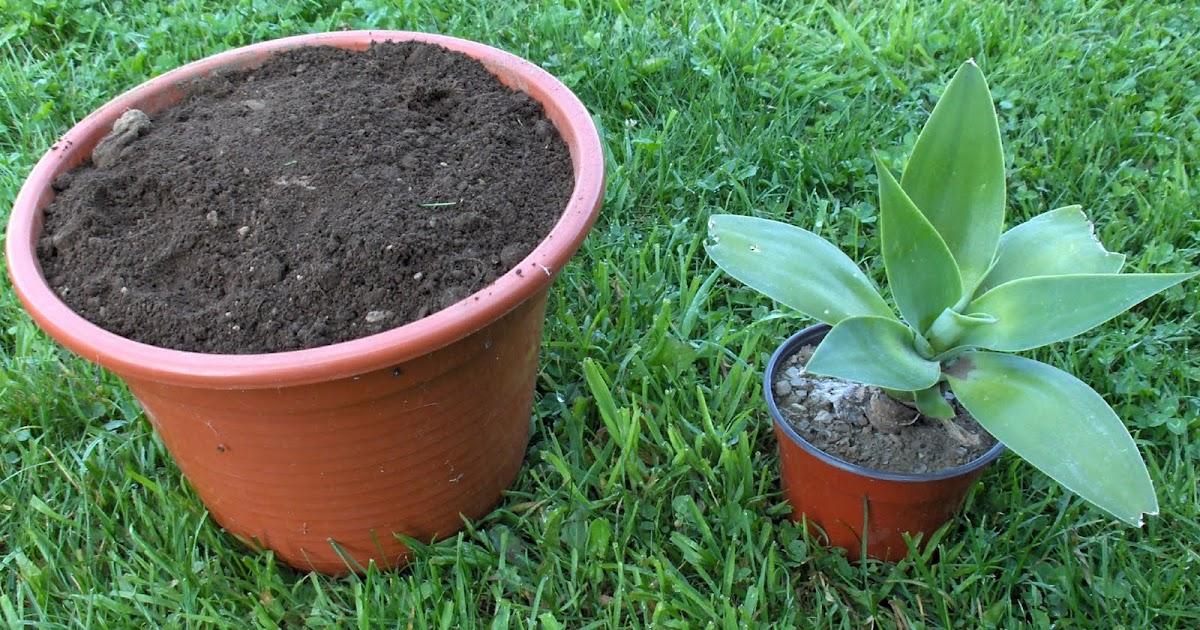 Aprendiz cambiar planta de maceta peque a a maceta m s grande for Macetas pequenas
