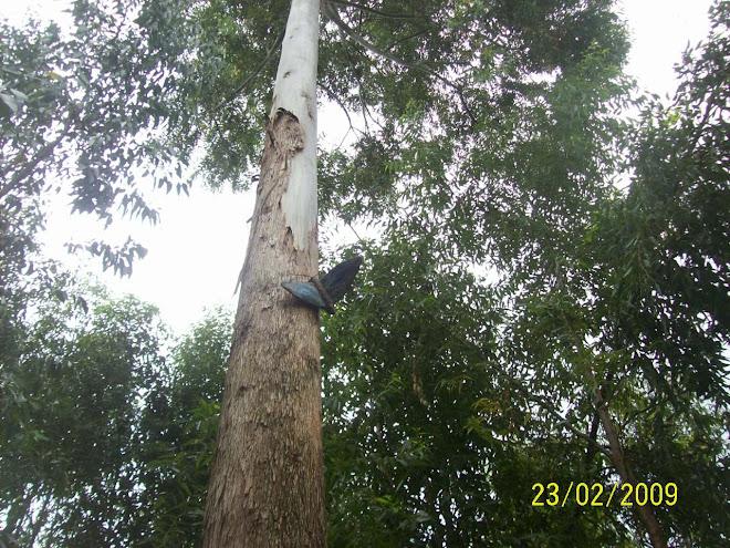 Borboleta no eucalipto