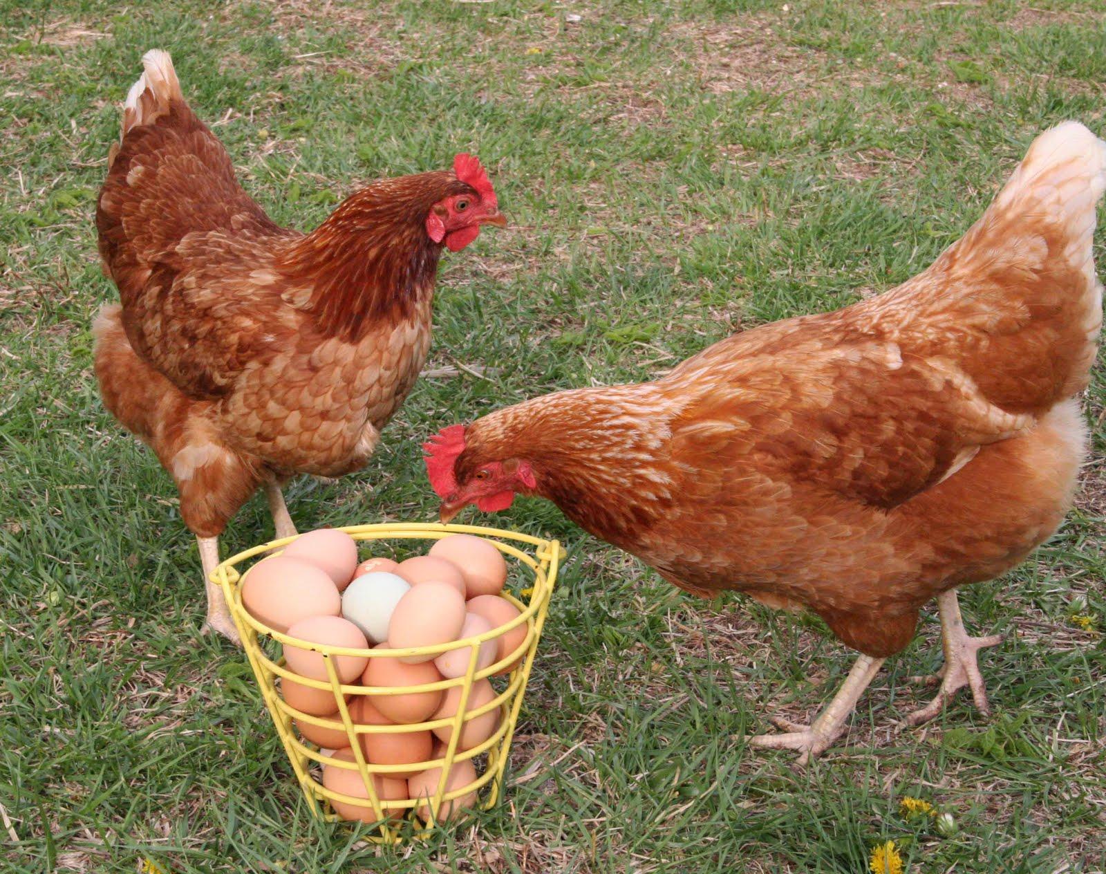 Как повысить яйценоскость кур без особых затрат 70