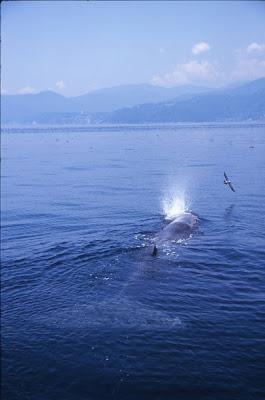 Izu Peninsula Whale