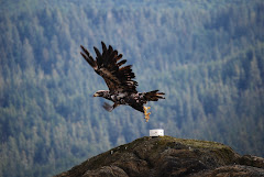 Eagle Taking Flight