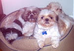 Our Shih Tzu's