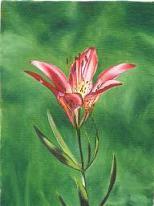 """Wood Lily Alberta"""