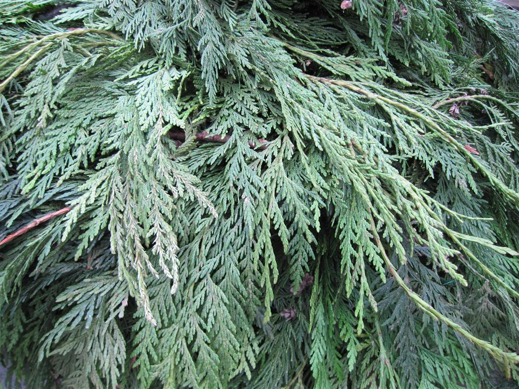 Cedars provide a wonderful fragrance and nice color to arrangements