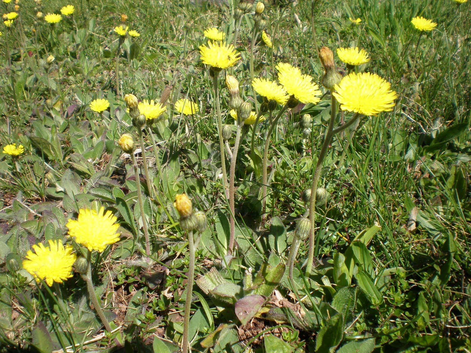 Weed Of The Week Yellow Hawkweed Hieracium Pratense Tausch Penn
