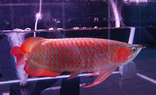 Arwana Fish