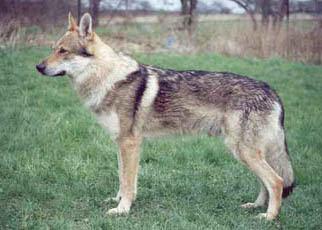 czech wolf dog