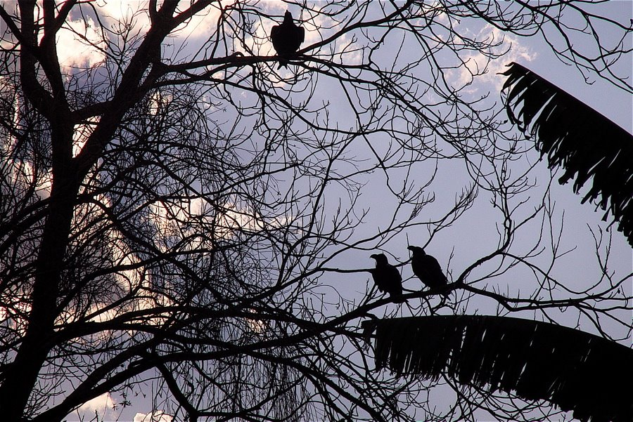 [Nkandla+ravens]