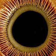 pupilla e iride