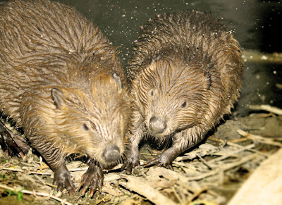 Pictures Of What Beavers Eat 3