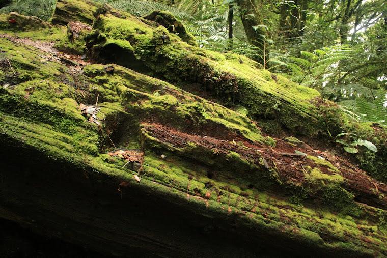 Tronco caido en el bosque nublado