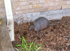 OUR ARMADILLO