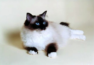 seal point mitted ragdoll cat