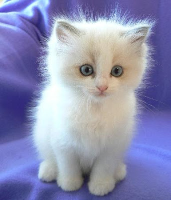 Little white ragdoll kitten