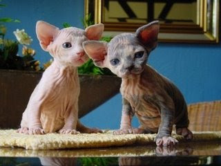 Two Hairless Kittens On A Table