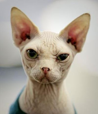 A Cool Suspicious Looking Hairless Cat Pics