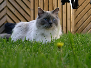mitted ragdool cat sitting on a green grass