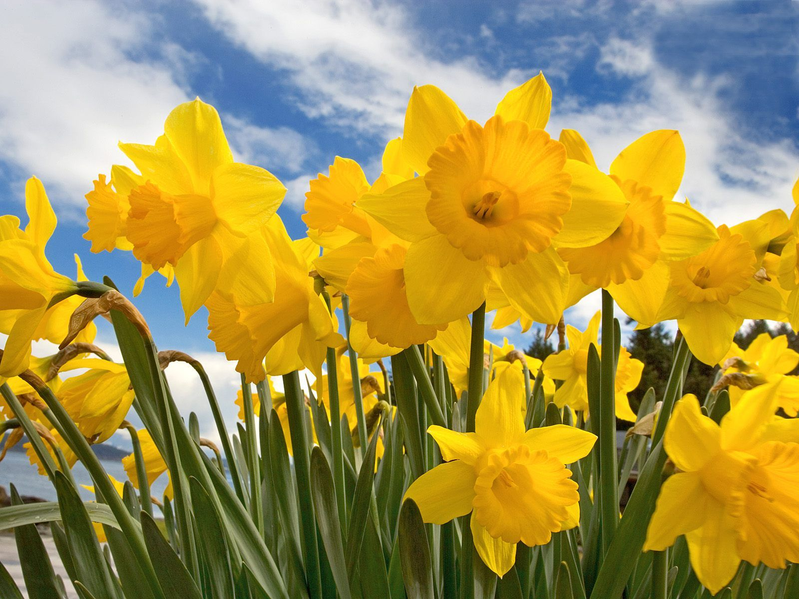 A Blog For English Lovers: Welsh National Emblems: Daffodils & Leeks