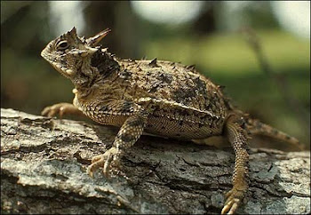 "The ""Horney Toad""  Famous Texas Reptile!"