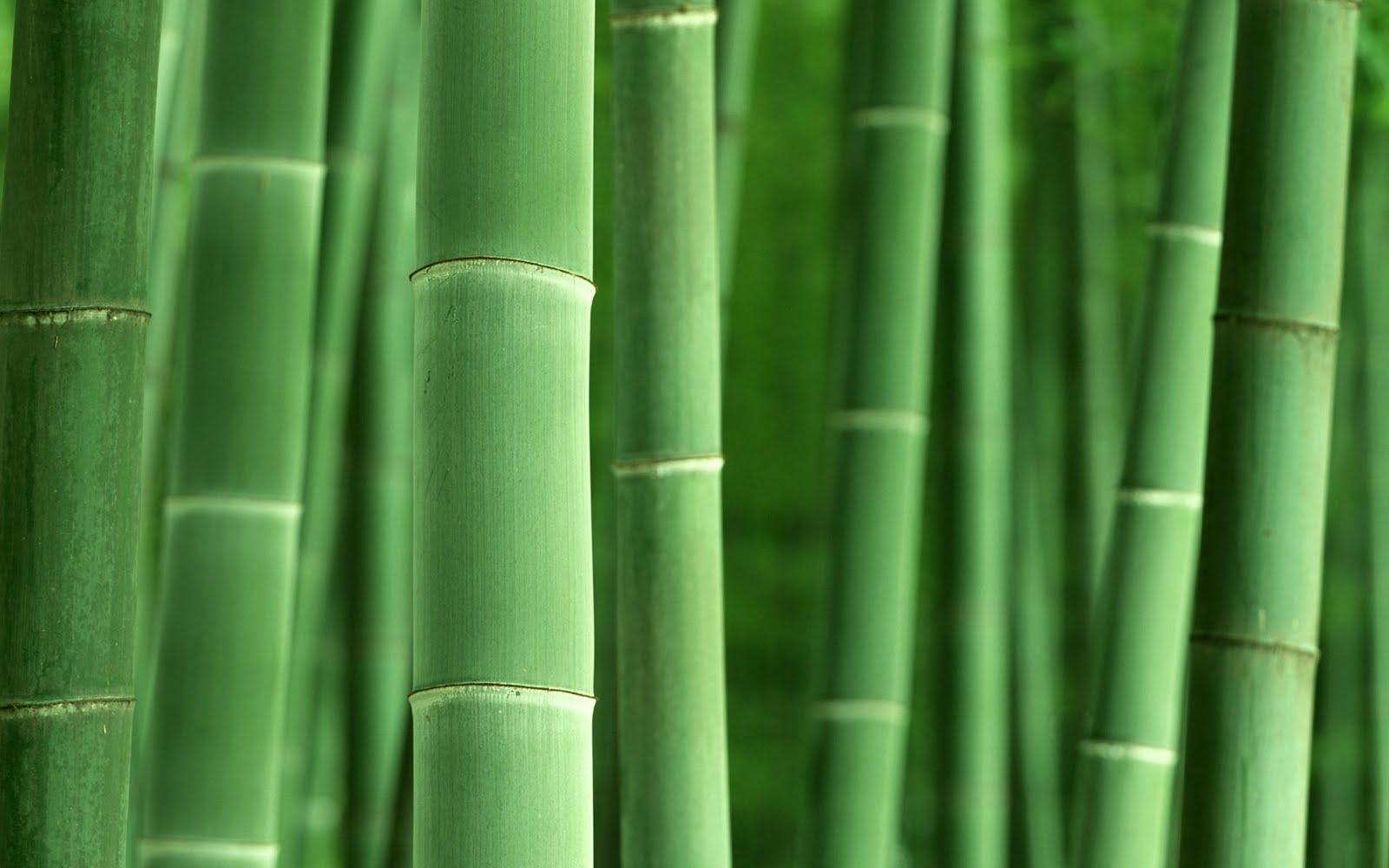Hq wallpapers bamboo forest high definition pictures for Bamboo wallpaper