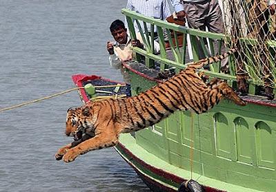 Koleksi Foto Harimau