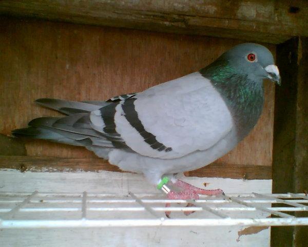 Koleksi Gambar Burung Merpati Pos | Koleksi Foto dan Gambar