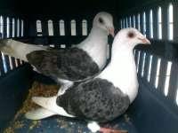 koleksi gambar burung merpati pos didalam sangkar