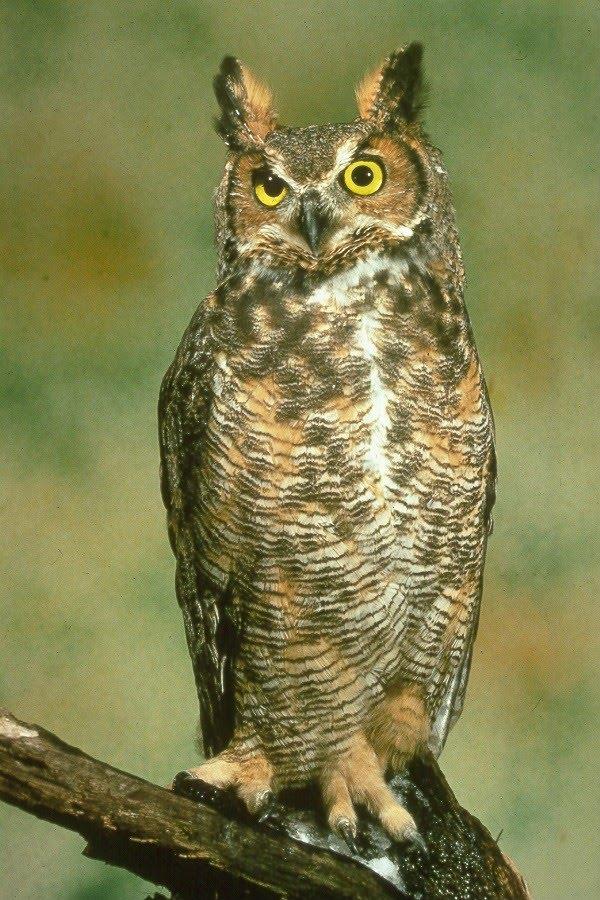 Gambar Burung Hantu | GAMBAR BURUNG HIAS,PIARAAN,KICAU