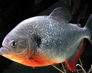 Gambar Ikan Bawal Air Tawar