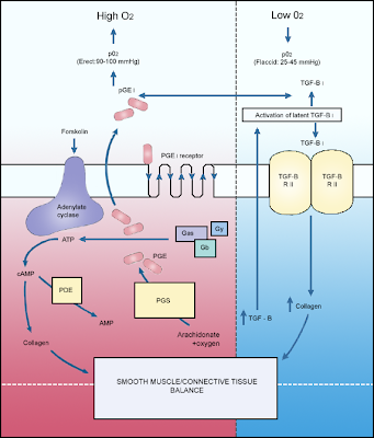 Pathophysiology of erectile dysfunction