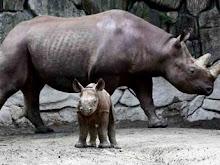 Nació un rinocerontito en el Zoo de UENO