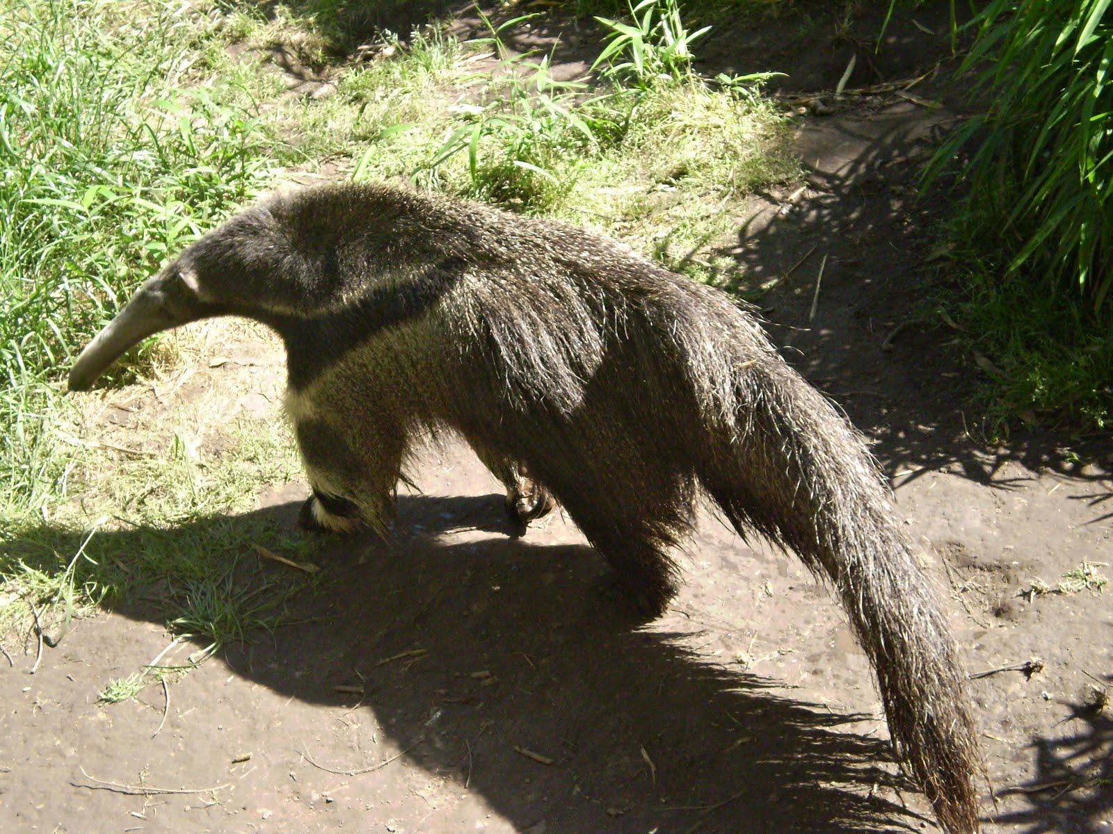 Oso hormiguero ( yurumí)