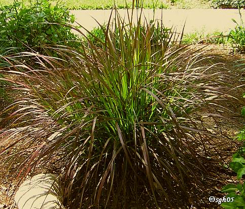 Aa tex lawn news to know january 2011 for Purple grasses for landscaping