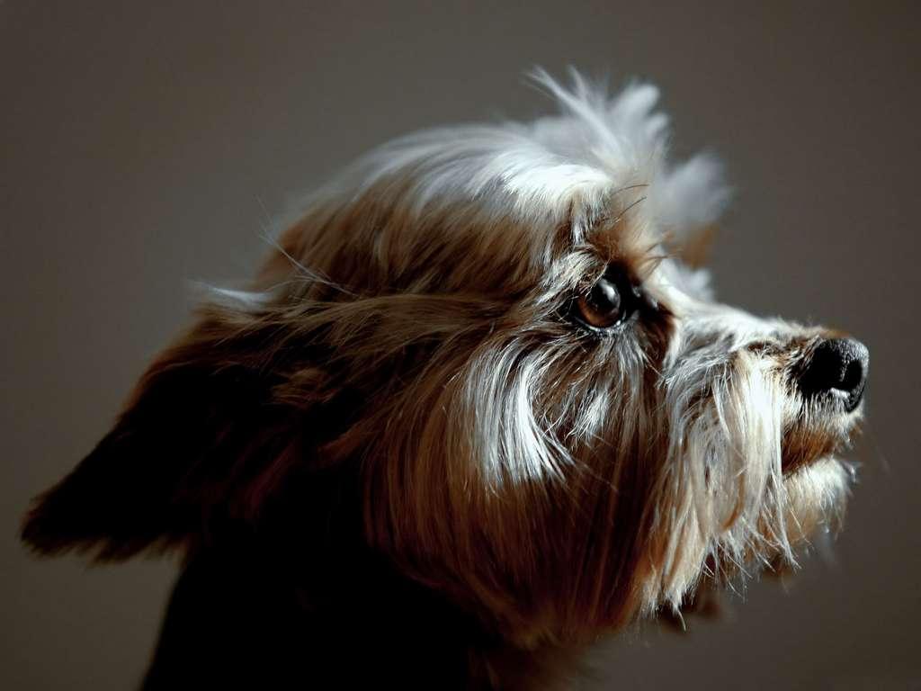 Australian Silky Terrier : vivace e simpatico | Immagini e Sfondi per ...