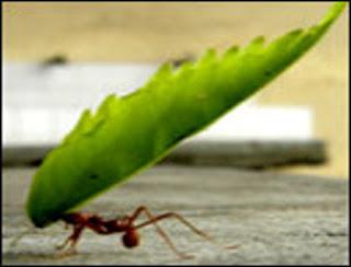 formiga carregando folha