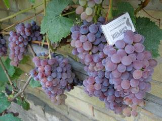 Виноград Розовый бессемянный