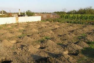 Яма для посадки винограда