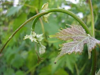 Побег винограда с загнутой верхушкой
