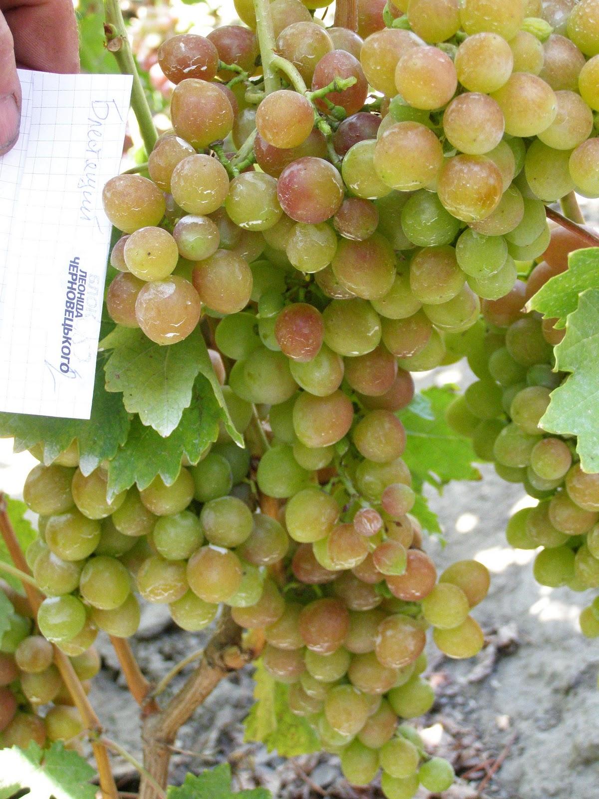 Виноград плевен  описание