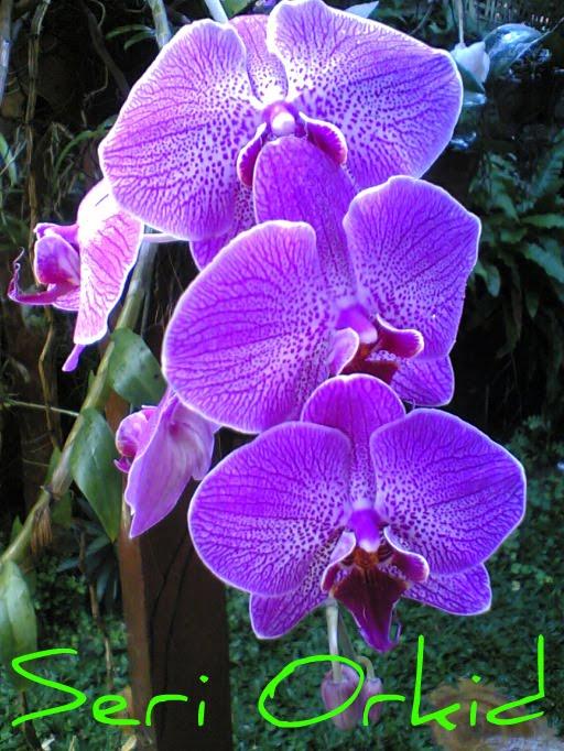 Seri Orkid