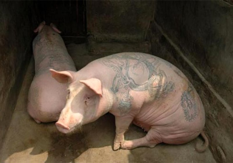 pig tattoos designs