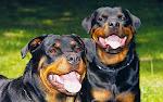 Você proucura um cão de Guarda? Que proteja a sua casa?