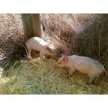Two new piggys at the Gray's