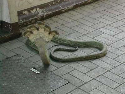 五頭蛇 - 詭異的五頭蛇
